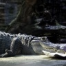 Alligator, Zoo de Beauval