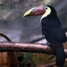 Toucan de Swainson, Zoo de Beauval